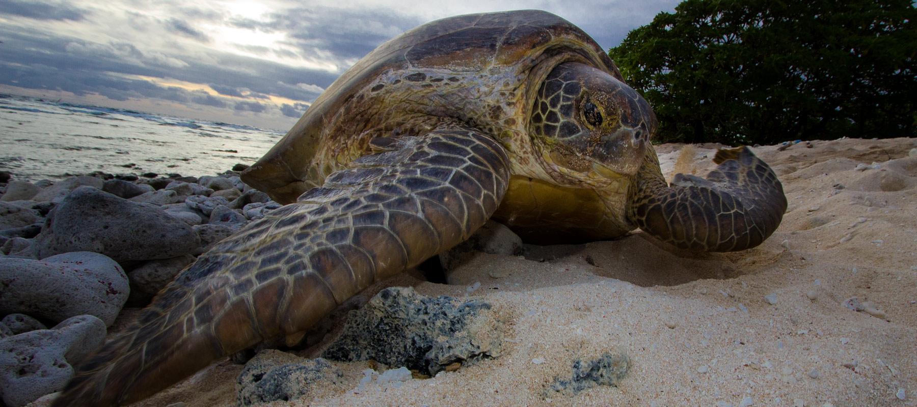 Nesting green turtle on beach