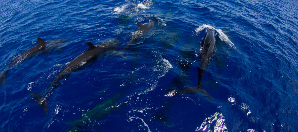 Pod of pilot whales in Yap Micronesia