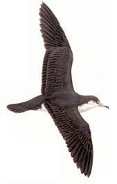 audubonShearwater