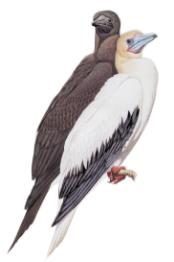 redFootedBooby