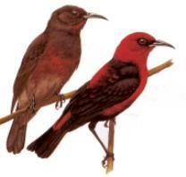 cardinalHoneyeater
